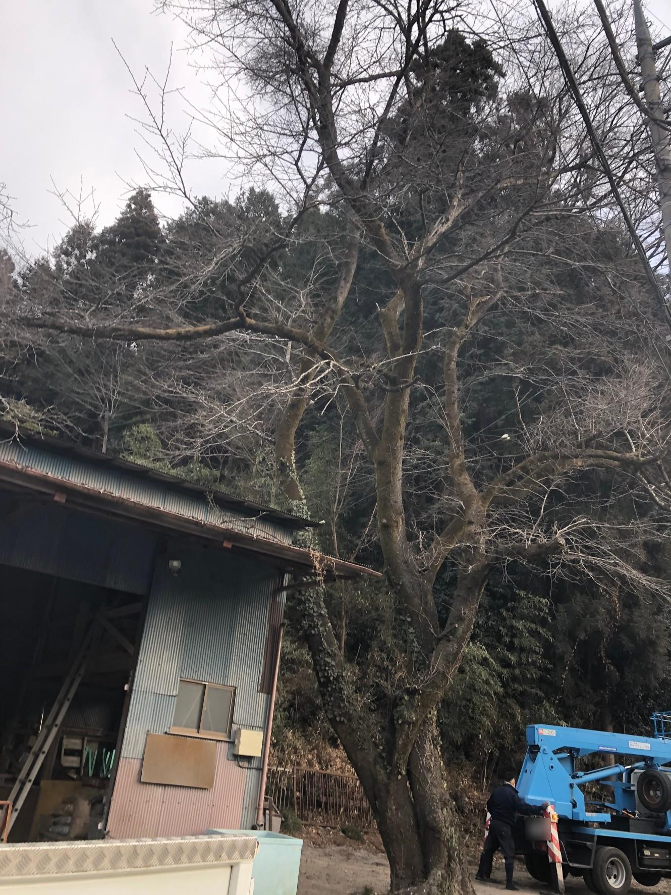 八王子市Y邸 桜の伐採